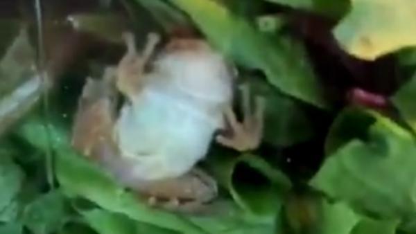 Encuentran una rana viva en un paquete de ensalada