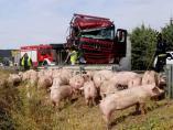 Cerdos en la cuneta