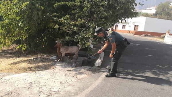 Un agente de la Guardia Civil rescatando unas cabras desorientadas por el incendio forestal de Valleseco
