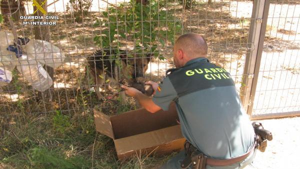 La Guardia Civil De Teruel Rescata A 6 Cachorros De Pastor Alemán Enterrados Vivos En Una Localidad Del Bajo Aragón