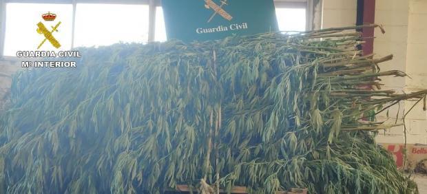 Plantas marihuana intervenidas por Guardia Civil