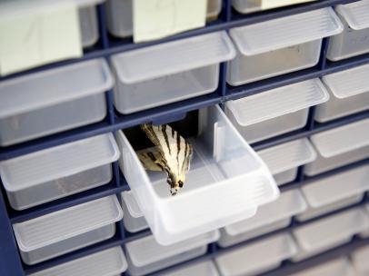 Una mariposa en una caja del laboratorio de Belgrado.