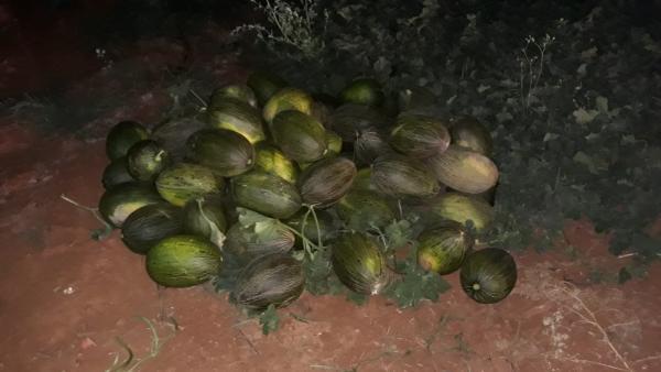 Melones incautados por la Guardia Civil.