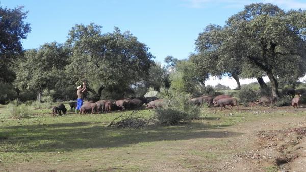 Imagen de una dehesa andaluza con labores de pastoreo y ganado.