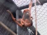 Mono aullador rojo