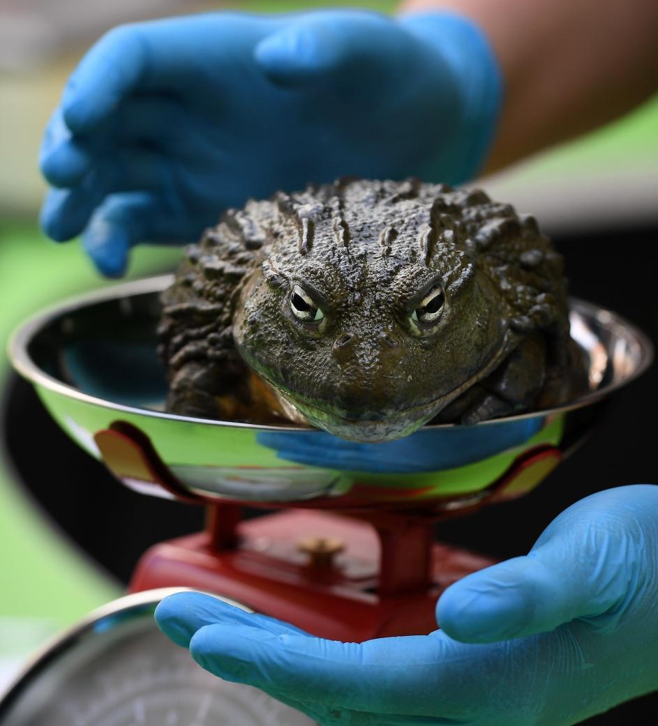 Una rana voluminosa. Una rana toro africana es pesada, durante la revisión anual de todos los animales, en el Zoo de Londres (Reino Unido).