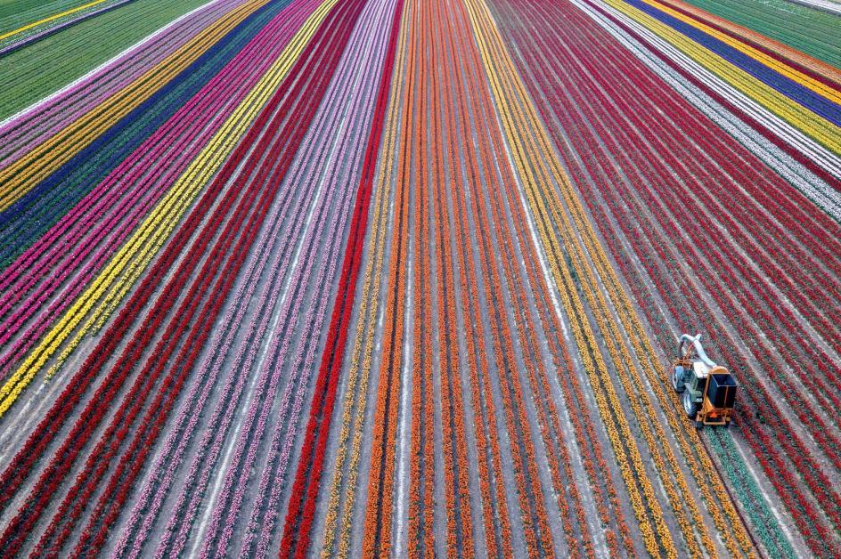 Campo arco iris . Una foto aérea muestra un tractor cosechando tulipanes, en un campo de Grevenbroich (Alemania).
