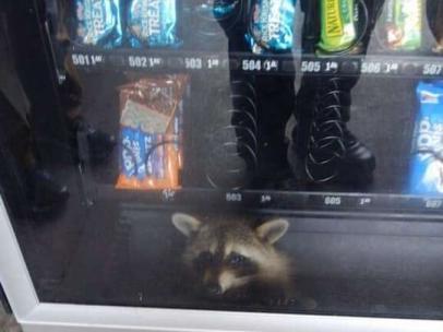 Un mapache atrapado