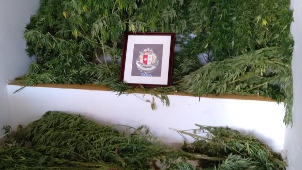 Marihuana incautada en Tocina