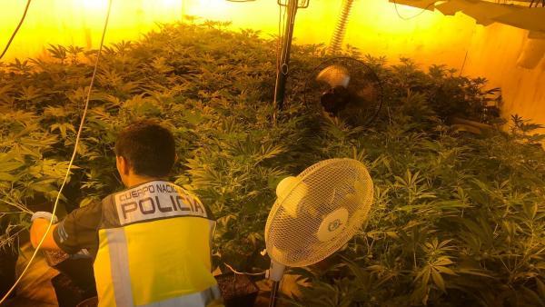 Plantación de marihuana en Daimús