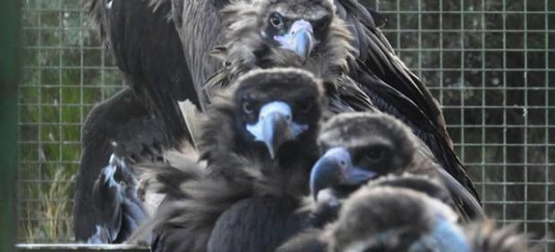 Buitres negros emplazados en un jaulón de Huerta de Arriba (Burgos), donde estas aves pasan una fase de aclimatación de varios meses, previa a su liberación en la Sierra de la Demanda.
