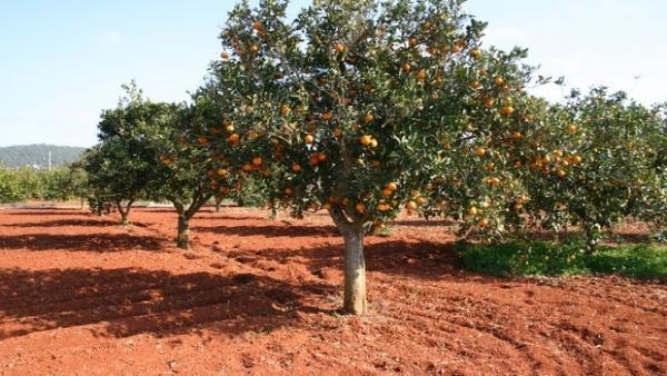 Campo de naranjas