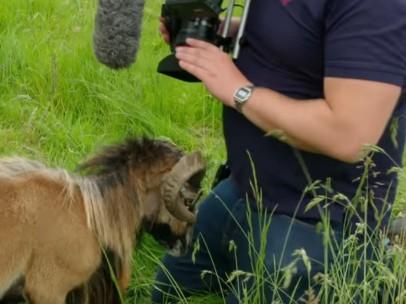 Una cabra arremete contra un cámara