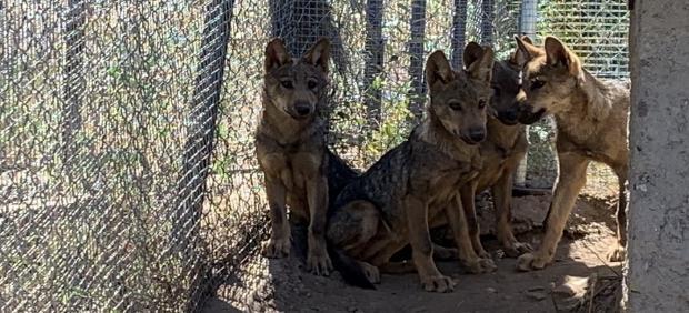 Cuatro lobeznos nacidos en el Centro del Lobo de Zamora cumplen sus primeros meses de vida.