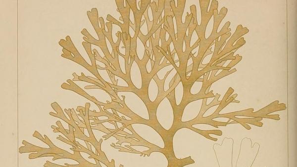 Rugoleptrix Okamurae