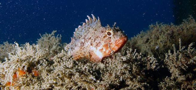 Una escorpora, una de las especies que habita en el fondo marino en el Parc dels Esculls de Barcelona.