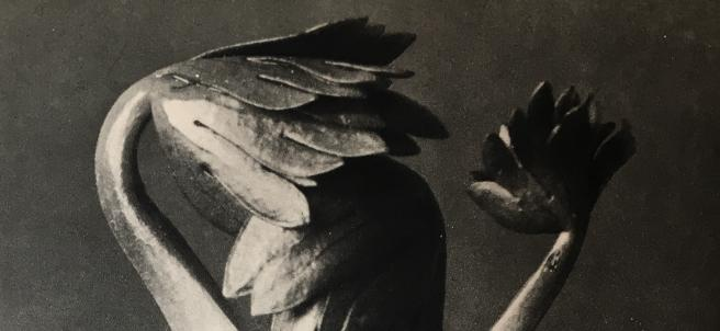 Karl Blossfeldt. Aconitum, 1928