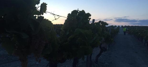 Parras de uva antes de ser vendimiadas en el amanecer