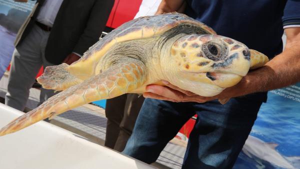 Una tortuga liberada en Málaga tras ser recuperada en el CREMA del Aula del Mar con la colaboración de la Diputación de Málaga.