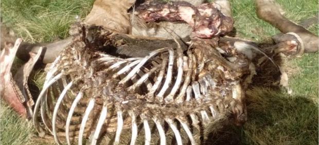 Restos de la yegua que mató el oso Cachou