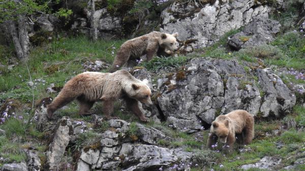 Ejemplares de oso pardo.