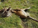 El oso Cachou mató en la noche del lunes al martes a una yegua joven