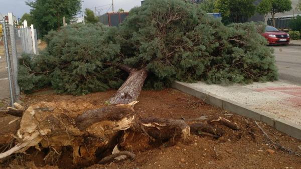 El temporal de lluvia y viento y la tormenta arranca árboles en Valdepeñas.
