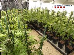 Algunas de las plantas de marihuana incautadas en el registro.