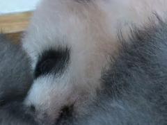 Panda gris