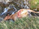 Yegua matada por el oso Cachou en la noche del miércoles al jueves.
