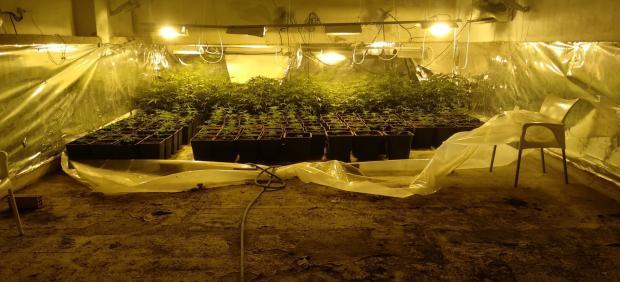Plantación de marihuana intervenida en Sanlúcar