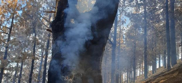 Imagen de llamas rebrotando en el interior de un árbol en Gáldar (Gran Canaria)