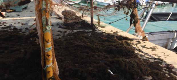 Redes de pesca con alga invasora en el puerto de Barbate