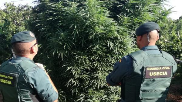 Agentes Guardia Civil frente a una plantación de marihuana de gran altura en Totana