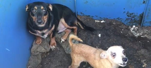 Detenidos dos hermanos en La Línea por abandonar a dos perros desnutridos en un contenedor al sol