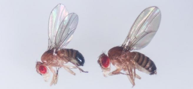 Moscas de la fruta (Drosophila melanogaster).