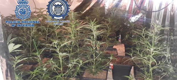 Plantación de marihuana intervenida en un piso en Jerez