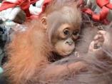 Cría de orangután