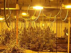 Plantación de marihuana intervenida por la Guardia Urbana de Barcelona.