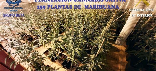 Plantación de marihuana intervnida en Jerez