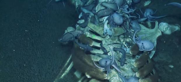 El escalofriante vídeo de unos pulpos devorando el cadáver de una ballena en el fondo del océano